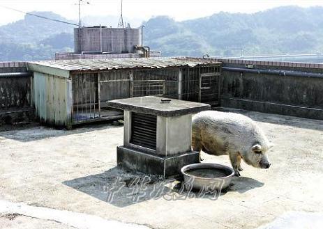 罗志祥在家中顶楼养猪楼下住户受不了投诉无果(图)